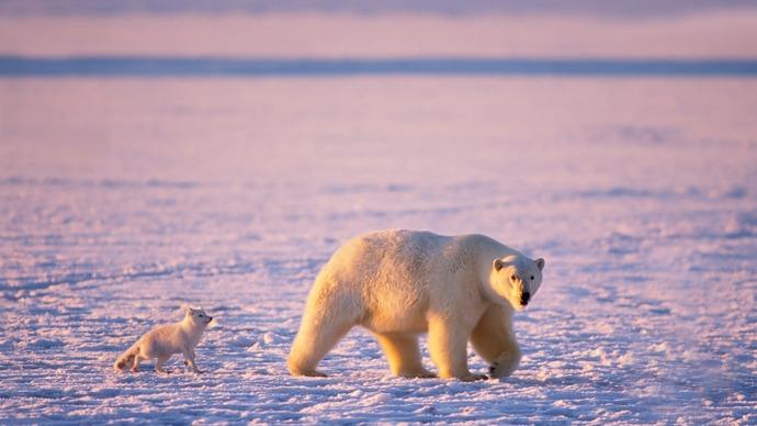 Arctic-animals-polar-bears-and-arctic-foxes_1920x1080