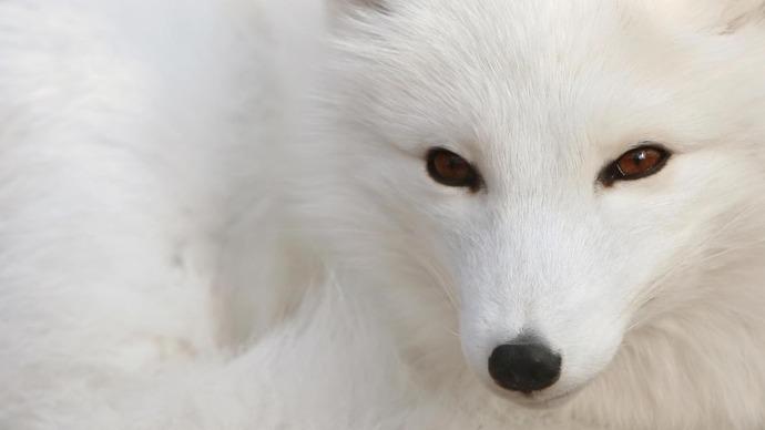 fox-simple-arctic-fox-polar-fox-snow-fox-animals-1080x1920