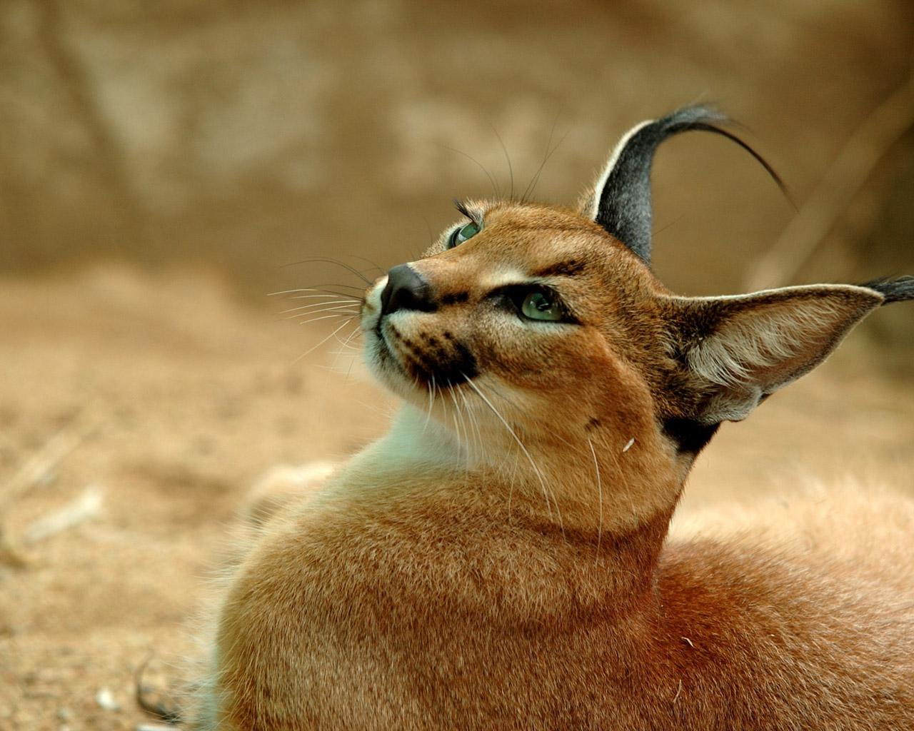 caracal 【猫画像33枚】カラカルが可愛いすぎてヤバイww...