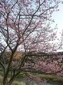2/14桜