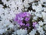 秩父 芝桜