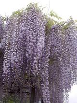 下の坊の藤の花�