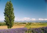 美瑛の丘 ケンとメリーの木