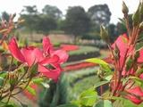 ハイジの村 バラの花