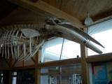 道の駅 ビオスおおがた ミンククジラの骨