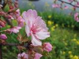 河津桜まつり カワヅザクラ