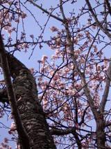 伊豆海洋公園の寒桜