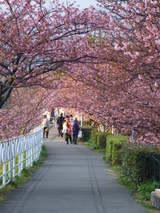 河津桜まつり さくらのトンネル