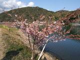 みなみ桜 2月13日の画像です