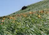 車山高原 咲き乱れるニッコウキスゲ