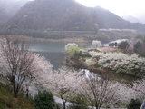 松川湖のさくら