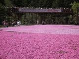 富士芝桜まつり 展望広場