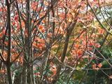 箱根の紅葉�