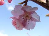 みなみ桜のアップです