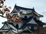 彦根城と桜