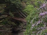 藤の花とかずら橋