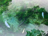 忍野八海 湧池にて