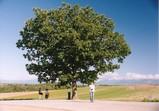 美瑛の丘 セブンスターの木