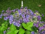 鎌倉 長谷寺の紫陽花 小町