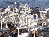 諏訪湖 白鳥