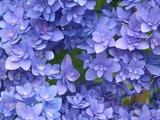 鎌倉 長谷寺の紫陽花 ファンタスティック
