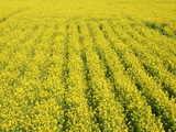 日野菜の花畑 菜の花の絨毯です
