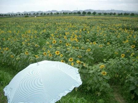 50万本のひまわり畑