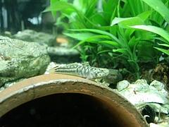 ハゼの稚魚