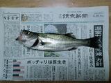 村田川河口のシーバス ポッチャリは長生き