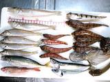 きょなん町白キス沖釣り大会2011釣果