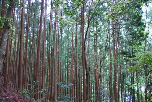 細い木がたくさん