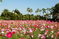 13.コスモスの花狩り