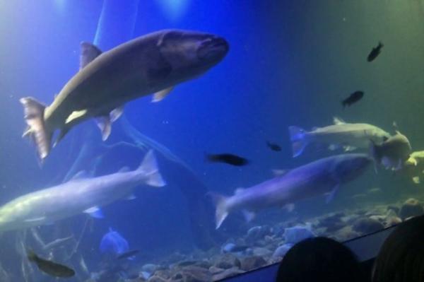 日本最大の淡水魚「イトウ」と「ニジマス」を掛け合わせてみました。 名前募集中!!