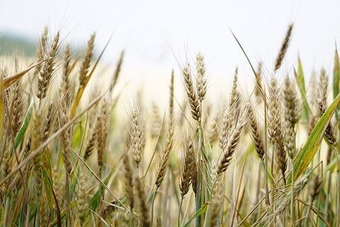 wheat-1556698_640