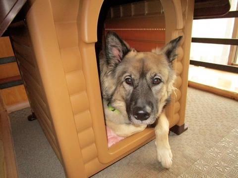 【修羅場】同期の家に遊びに行った時、日本型の大型犬の頭をなでようとしたら「あqqqqqqqqqqqqqq」