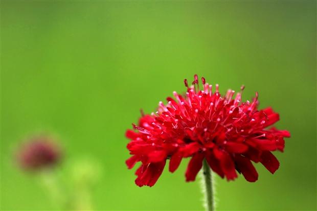 赤花マツムシソウ