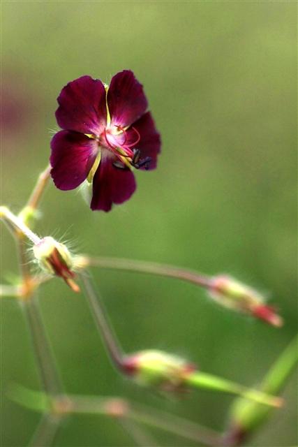 黒花フウロソウ