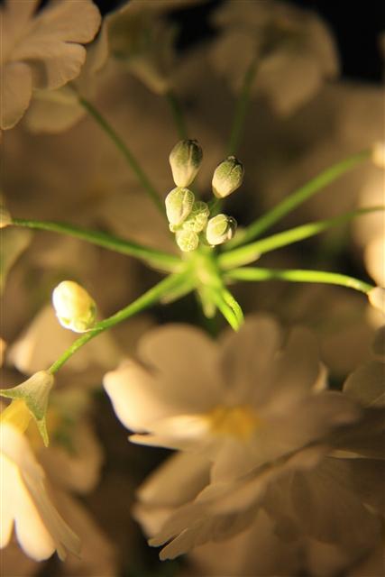 さくら草2