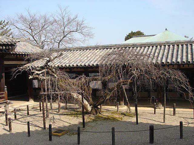 法隆寺 東院伽藍 しだれ桜