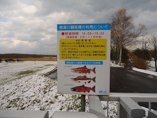 標津川に来る鮭
