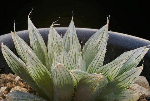 (4)H.indica 以前sp.nov.で紹介の個体