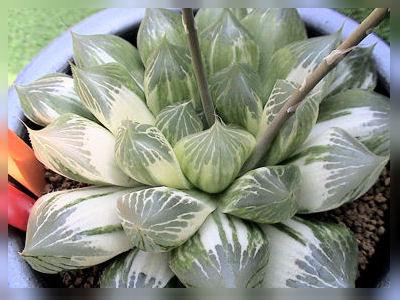 ⑫えびす錦B-CactusNishi