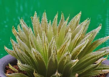 ⑮ H. heroldia n.n. 「マリンブルー」  D=8cm