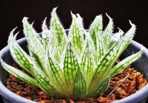 写真6 H. ciliata  '紫毛氈' D=6
