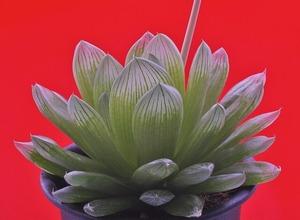 ④ H. transiens hyb. 「水明」 D=12cm LW=2.5cm