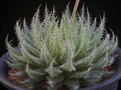 写真1 H. rooibergensis