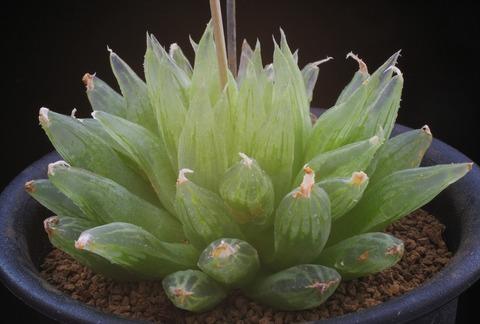写真4 H. crystallina 'ナタデココ'