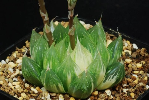 94-setatavariegxobtusa-hagiwara