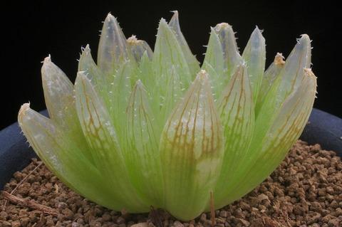 写真5 H. crystallina 'ナタデココ'