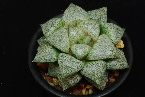 78-pikusa-stardustseedling1-hayashi